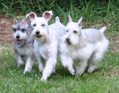 Miniature Schnauzer Trio