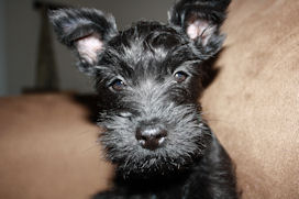 Miniature Schnauzer puppy Piper