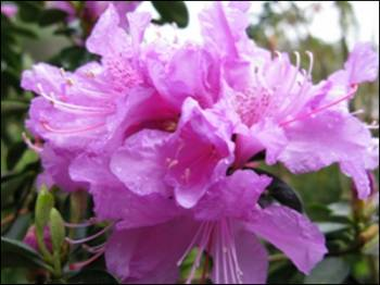 Azalea poisonous plants dogs