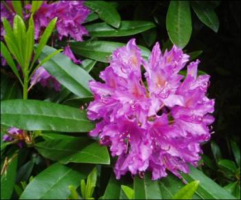 Rhododendron poisonous plants dogs
