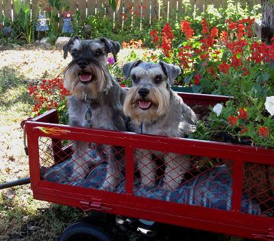 Debby's Miniature Schnauzers Rascal and Gypsy