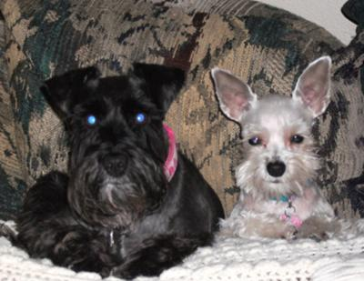 Reggie, black female with Piper Blue, platinum female