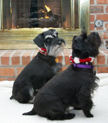 Mini Schnauzers Rocky and Cosmo