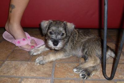 Mini Schnauzer Rudy at 7 weeks old