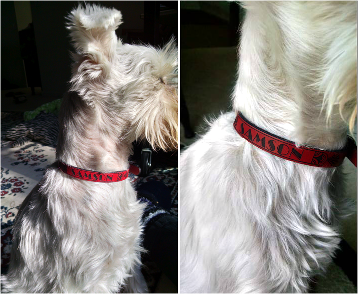 SAMSON wearing his new RUHA Leather Dog Collar