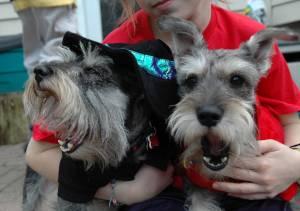 Schnauzers Lexie the Witch & No-Mo Horns Buddy