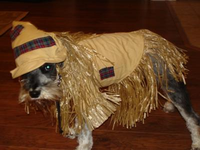 Miniature Schnauzer Harley as the Scarecrow