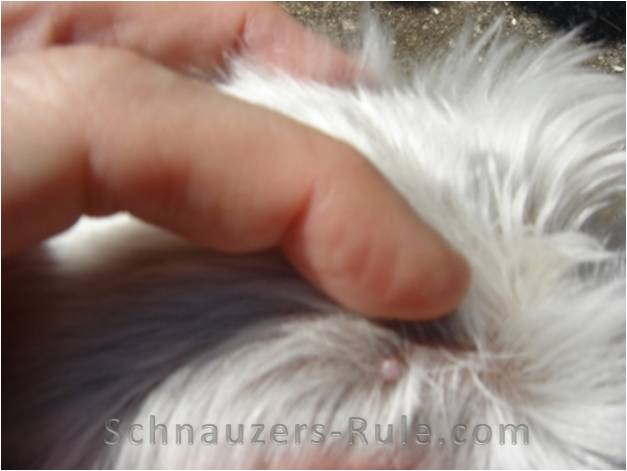 Schnauzer comedones or skin bumps usually first appear along a dog ...