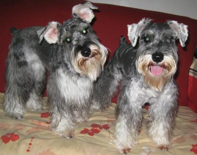 Miniature Schnauzers Jingle Bell and Happy