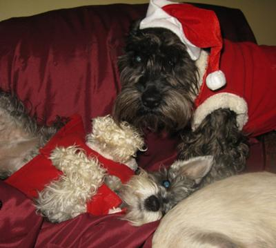 Christmas Schnauzers Lilly Belle and Ace