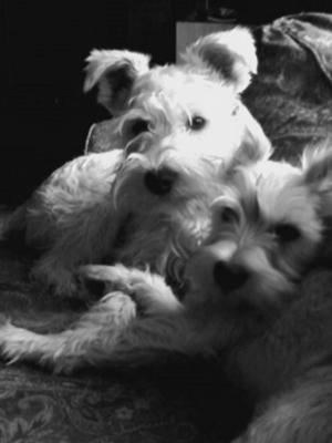 Miniature Schnauzer, Schultzie & Lilly