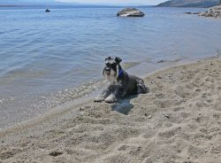 miniature schnauzer pictures on beach