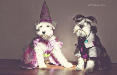 Mini Schnauzers in Costume