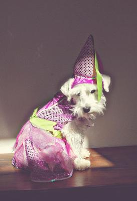 Miniature Schnauzer Princess