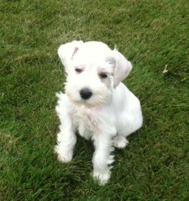 I like to play outside! Mini Schauzer puppy Stewie