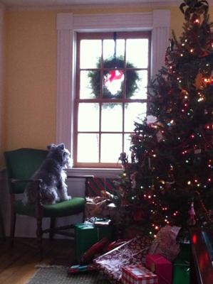 Chrismas season: skittles looking out to the street, one of his favorite pastimes