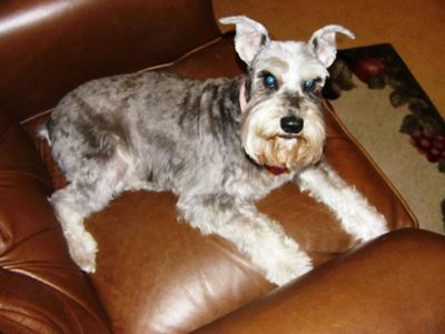 Miniature Schnauzer, Relaxing in daddys chair
