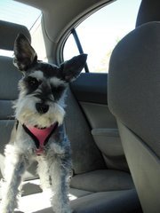 My Sweet Little Schnauzer Chloe