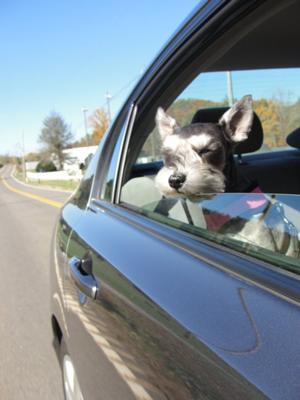 Schnauzer Chloe enjoying a ride