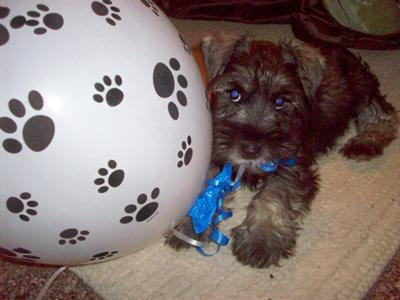 Tanner with his balloons at his puppy shower 10 weeks old