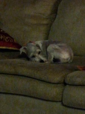 Grayci at home resting