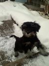 Mini Schnauzer puppy Molly