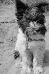 Schnauzer Puppy Yang