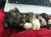 Schnauzer Puppy Olivia
