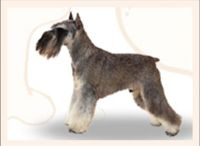 Miniature Schnauzer Training