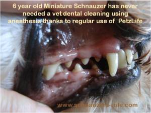 Schnauzer Dental Care, Clean dog teeth