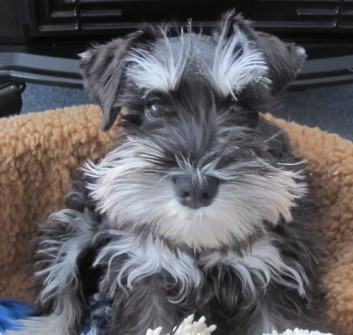 Miniature Schnauzer Willy Jack