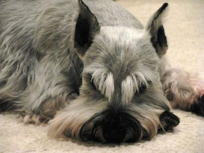 Miniature Schnauzer, My Sweet Angel Casey