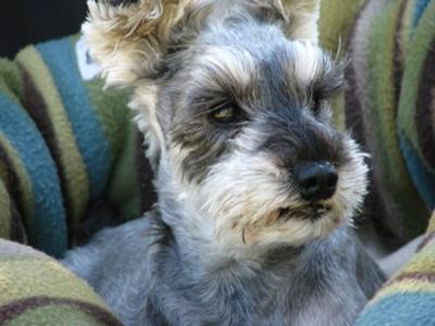 Miniature Schnauzer, Tia in her bed on a car ride
