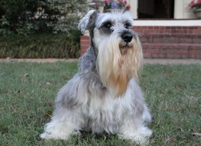 The most beautiful Schnauzer in all the land, Angel.