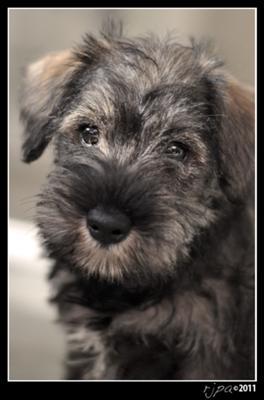 Mini Schnauzer Puppy Bella
