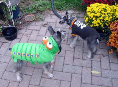 Caterpillar Buddy & Lexie Skelton Schnauzers