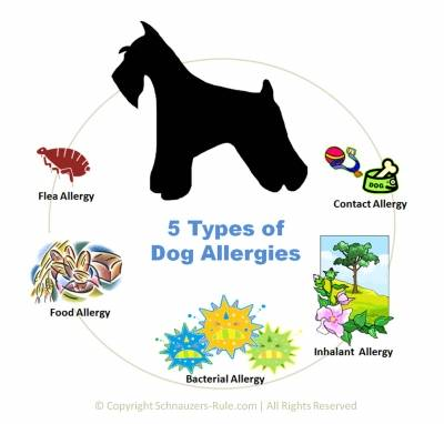 5 Dog Allergies Symptoms And Treatment