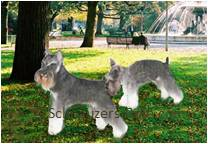 2 Schnauzers greet by sniffing anal glands