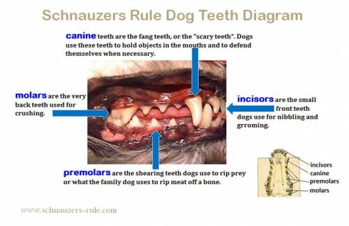 Dog Teeth Diagram