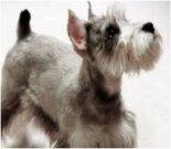 Father's Day ecard, best dog dad, dog ecard, schnauzer card