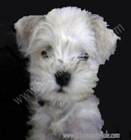 miniature schnauzer girl dog