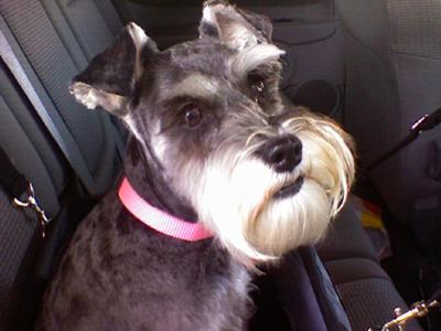 Miniature Schnauzer Kori in Her Car Seat & Ready to Ride