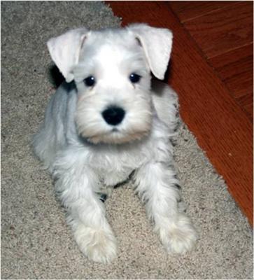 Schnauzer Puppy Lou