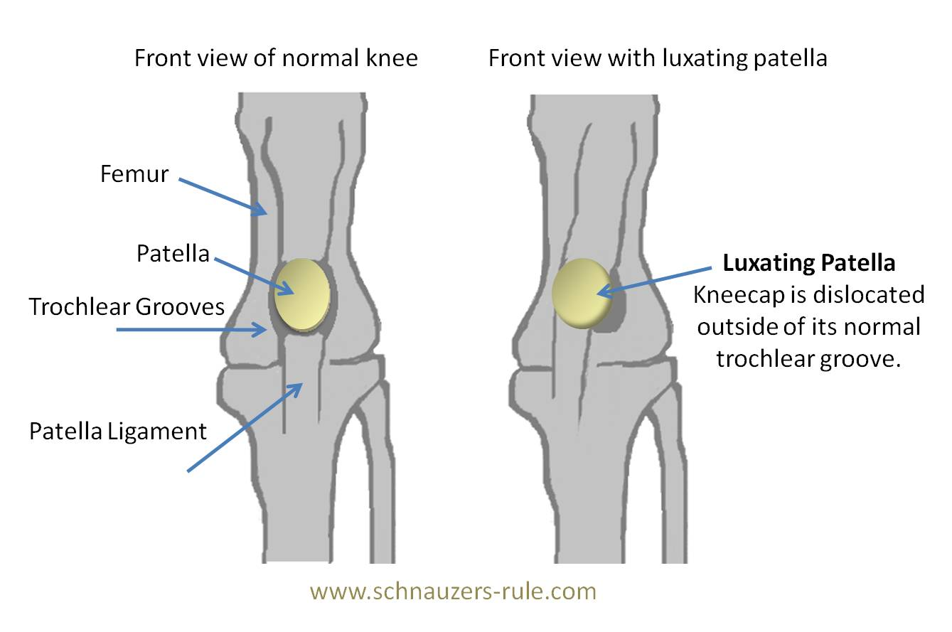 Luxating Patella in Dogs