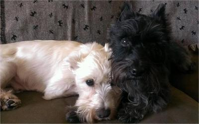 Mini Schnauzers Mason and Adele