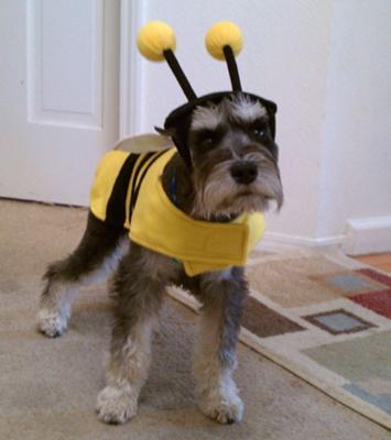 Halloween Schnauzer Sherlock the Bumble Bee