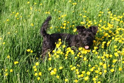 Jasper the minature Schnauzer - Buttercups and cowpats