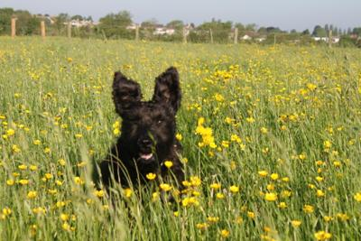 Jasper in a field of buttercups
