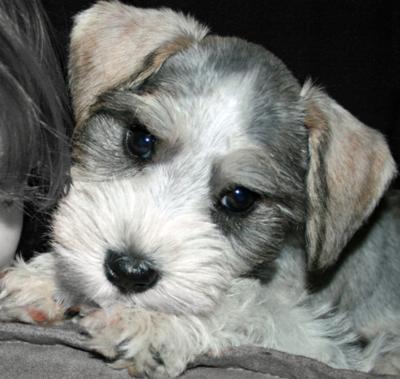 Adorable Schnauzer puppy