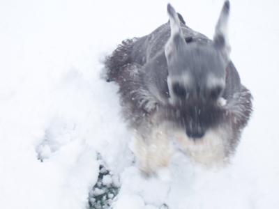Miniature Schnauzer Taz romping thru snow